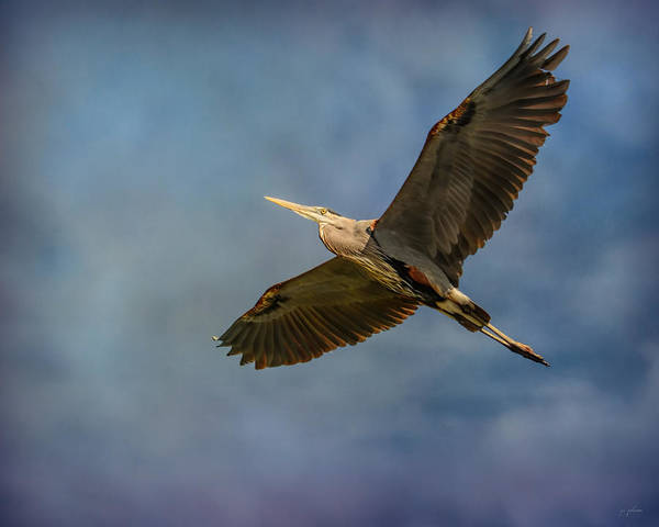 Photograph - Heron Overhead by Jai Johnson