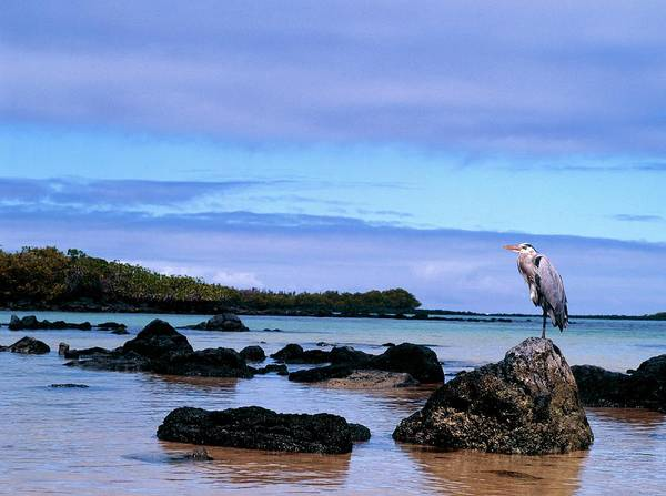 Galapagos Islands Wall Art - Photograph - Heron Perched On Rocks by Dr Morley Read/science Photo Library