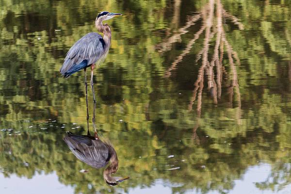 Photograph - Heron Reflected by Karen Saunders