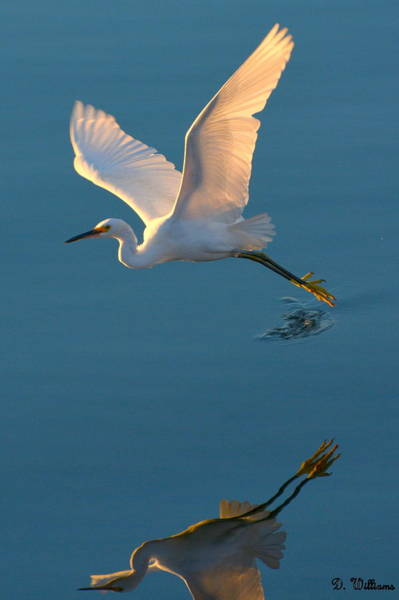 Photograph - Heron Reflection by Dan Williams