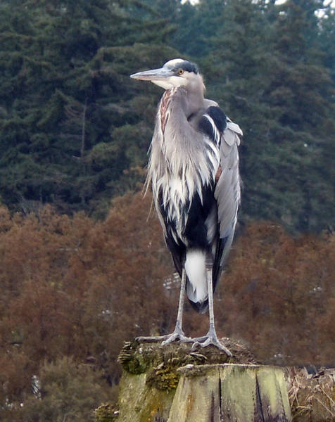 Photograph - Heron by Sherry Shipley