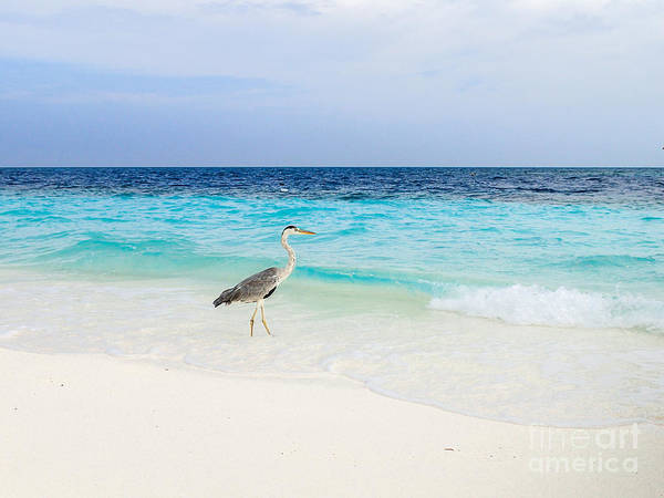 Photograph - Heron Takes A Walk At The Beach by Hannes Cmarits