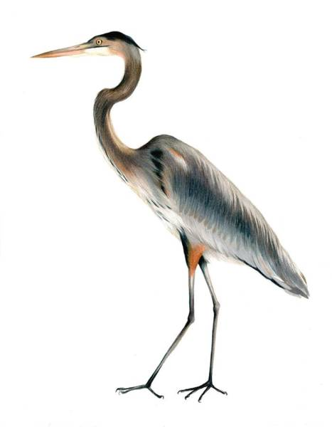 Great Blue Heron Drawing - Heron Walking by Heather Mitchell