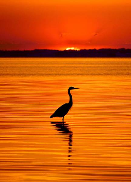 Ixobrychus Photograph - Heron With Burnt Sienna Sunset by William Bartholomew