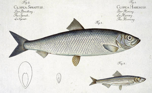 Wall Art - Drawing - Herring And Sprat Plate Xxix by Andreas-Ludwig Kruger