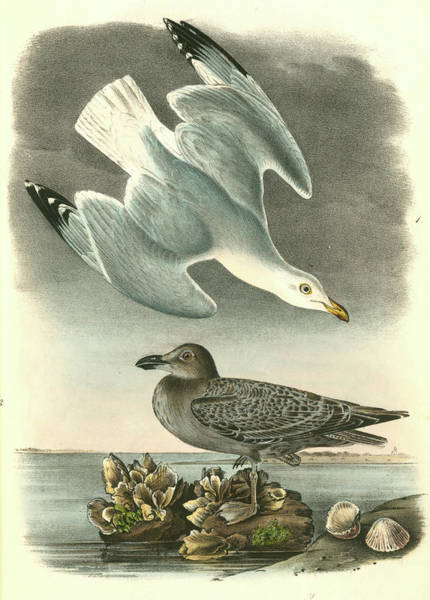Wall Art - Drawing - Herring Or Silvery Gull. 1. Adult In Spring by Artokoloro