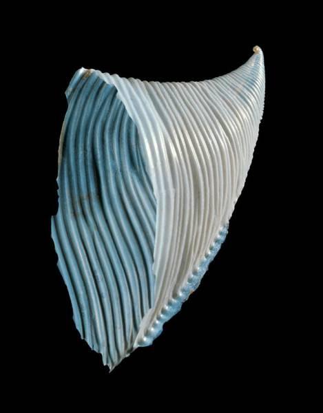 Marine Biology Wall Art - Photograph - Heteropod Sea Snail Shell by Gilles Mermet