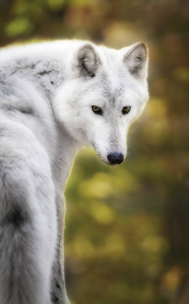 Arctic Wolves Photograph - Hey You by Eduard Moldoveanu