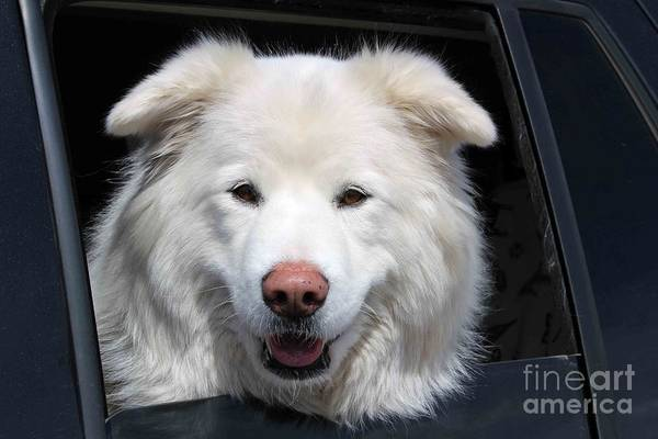 Great Pyrenees Photograph - Hi Mom by Fiona Kennard