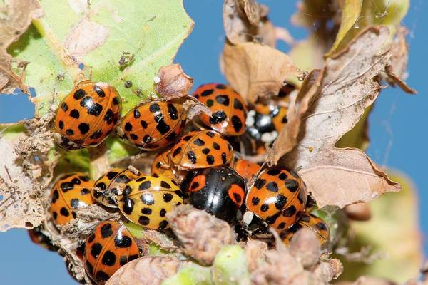 Coleoptera Photograph - Hibernating Harlequin Ladybirds by Dr. John Brackenbury