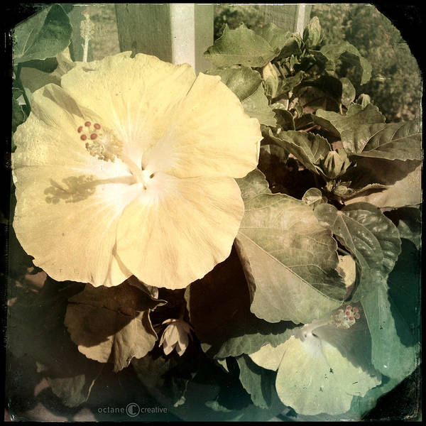 Photograph - Hibiscus Blooms by Tim Nyberg