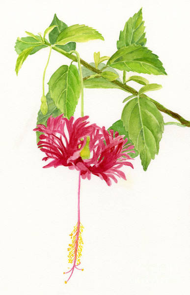 Wall Art - Painting - Hibiscus Chinese Red Lantern by Sharon Freeman