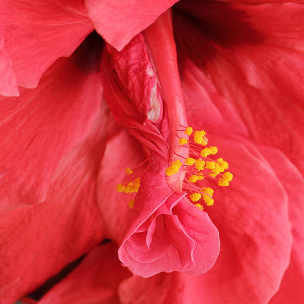 Photograph - Hibiscus  by Diane Fifield