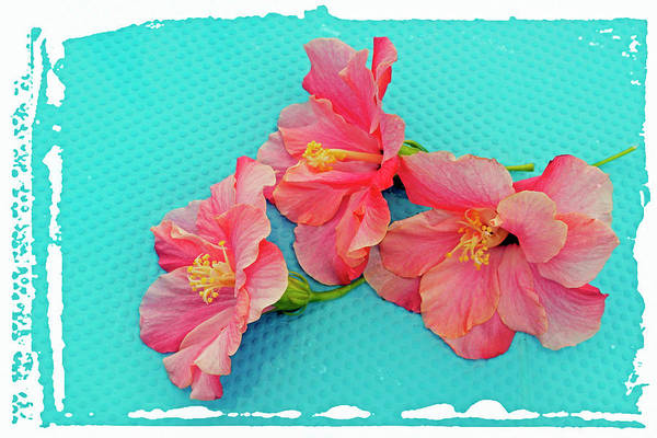 Wall Art - Photograph - Hibiscus Flowers by Images Etc Ltd