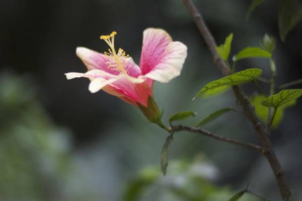 Vegetal Photograph - Hibiscus by Gina Dsgn