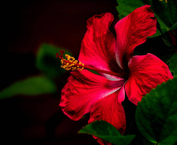 Photograph - Hibiscus Glow by Dorothy Cunningham