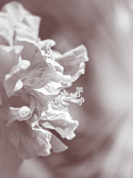 Photograph - Hibiscus In Sunlight by Carolyn Marshall