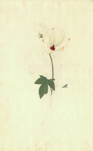 Hibiscus Meraukensis Art Print