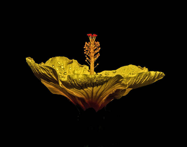 Photograph - Hibiscus by Pete Rems
