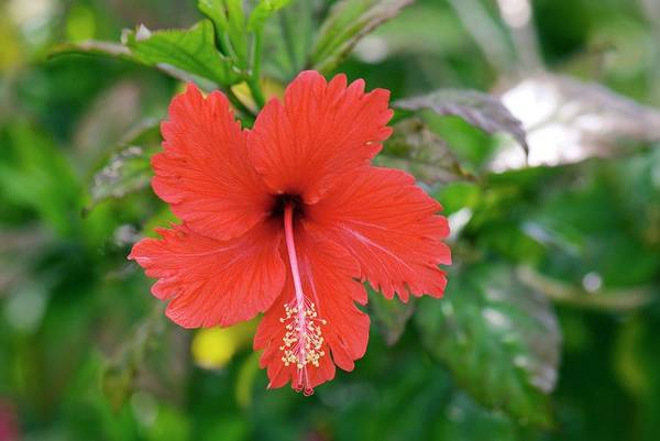 Hibiscus Flower Photograph - Hibiscus Rosa-sinensis Flower by Adrian Thomas