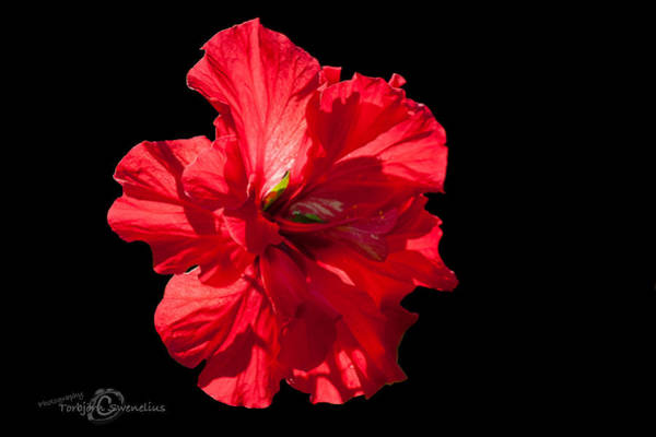 Neon Pink Photograph - Hibiscus Rosa Sinensis - Pride Of Hankins II by Torbjorn Swenelius