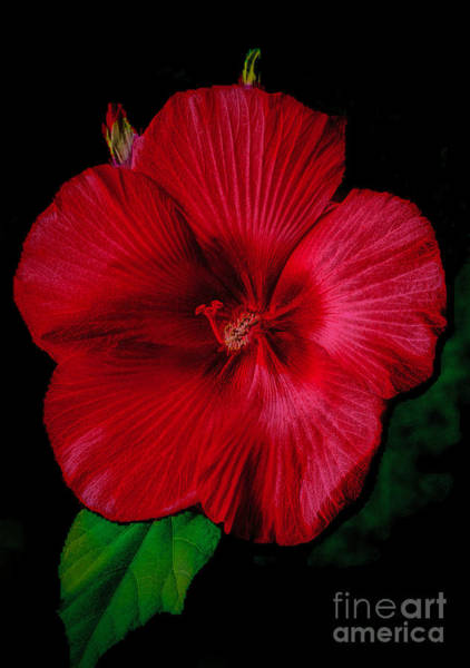 Photograph - Hibiscus  Softly  by Dave Bosse
