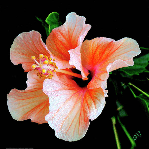 Hawaii Wall Art - Photograph - Hibiscus Spectacular by Ben and Raisa Gertsberg
