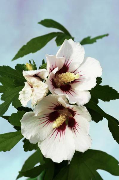 Hibiscus Syriacus 'red Heart' Art Print