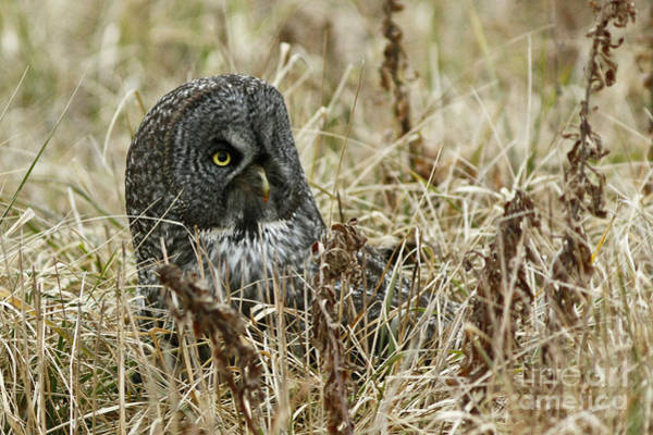 Southern Ontario Photograph - Hidden Gems - Great Gray Owl by Inspired Nature Photography Fine Art Photography