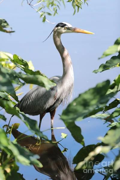 Photograph - Hidden Great Blue Heron by Carol Groenen