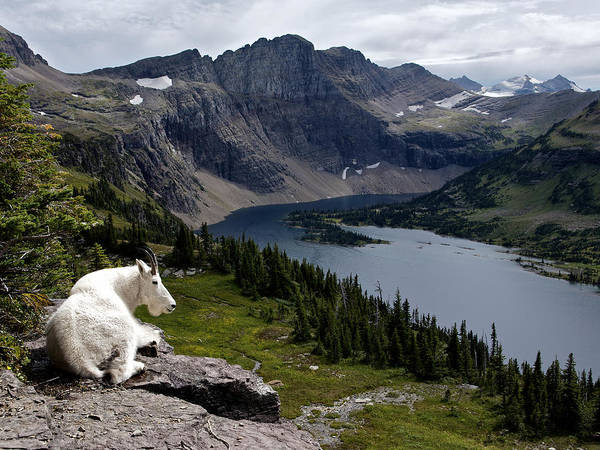 Photograph - Hidden Lake Mountain Goat by Robert Yone
