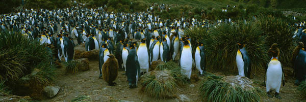 King Penguin Wall Art - Photograph - High Angle View Of A Colony Of King by Panoramic Images