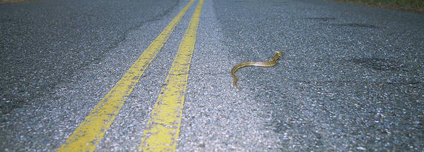 Wall Art - Photograph - High Angle View Of A Snake Crossing by Animal Images