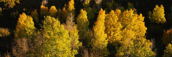 Telluride Photograph - High Angle View Of Aspen Trees by Panoramic Images