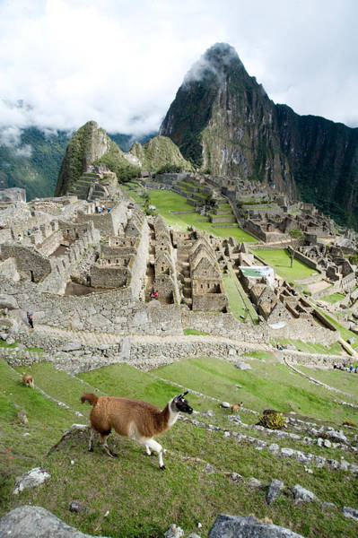 Cusco Photograph - High Angle View Of Llama Lama Glama by Panoramic Images