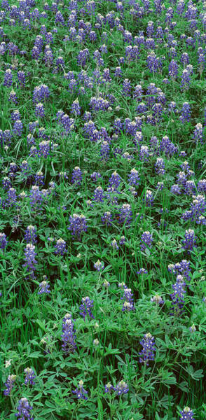 Texas Bluebonnet Photograph - High Angle View Of Plants, Bluebonnets by Panoramic Images