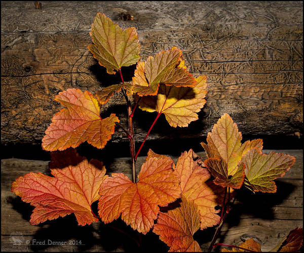 Photograph - High Bush Cranberry Leaves by Fred Denner