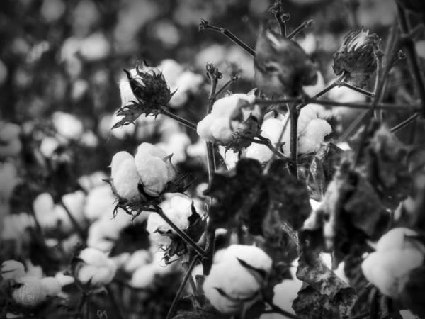 Photograph - High Cotton 001 Bw by Lance Vaughn