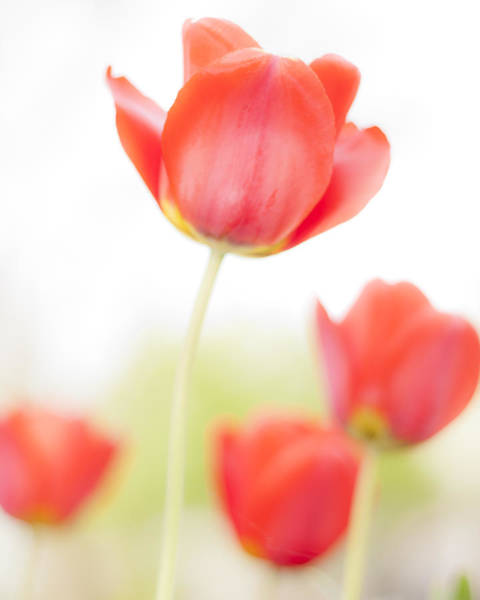 Photograph - High Key Tulips by Adam Romanowicz