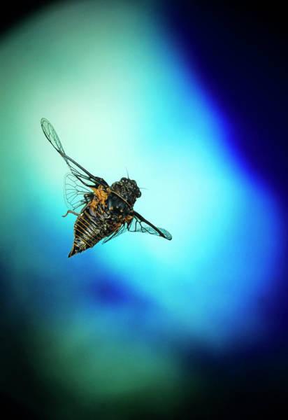 Cicada Wall Art - Photograph - High-speed Photo Of A Cicada In Flight by Dr. John Brackenbury/science Photo Library