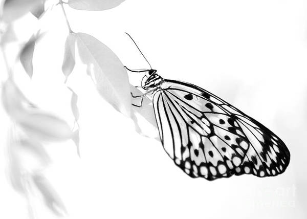 Photograph - Highkey Rice Paper Butterfly by Sabrina L Ryan