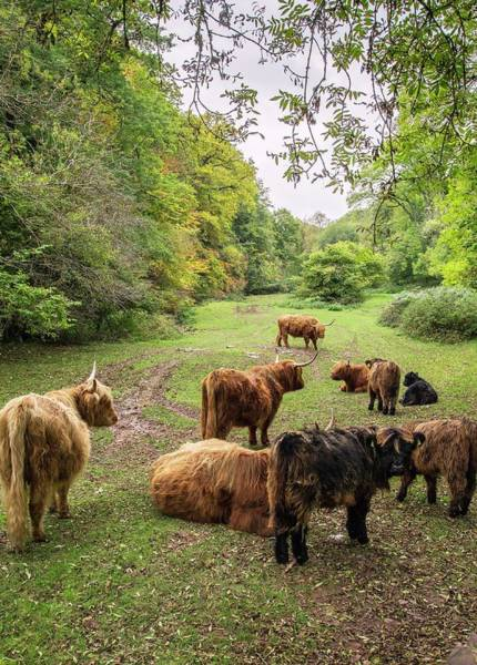 Exmoor Photograph - Highland Cattle by Bob Gibbons/science Photo Library