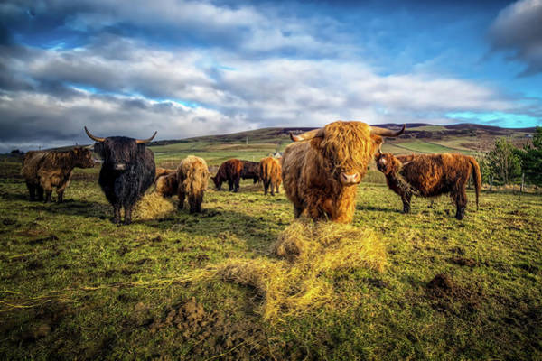 Domestic Cattle Photograph - Highland Cattle by Garian Photography
