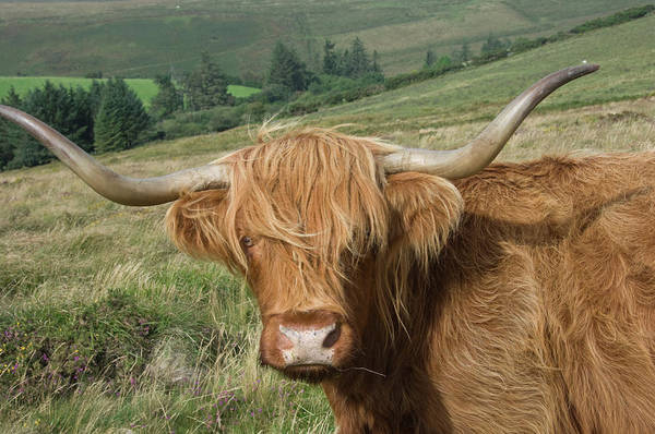 James Brown Photograph - Highland Cattle Grazing On Dartmoor by James Emmerson / Robertharding