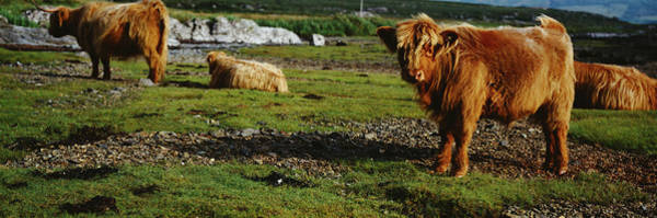 Sitting Bull Photograph - Highland Cattle On A Grassy Field, Isle by Animal Images