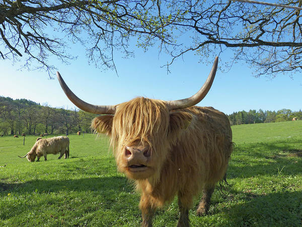 Bangs Photograph - Highland Cattle On Farm, Seefeld by Altrendo Travel