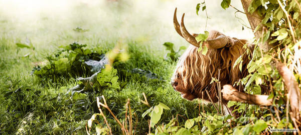 Sitting Bull Photograph - Highland Cow Laying Down by Simon Bratt Photography LRPS