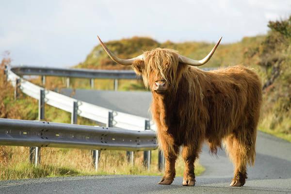Wall Art - Photograph - Highland Cow Near Elgol Beach, Isle by Joel Santos
