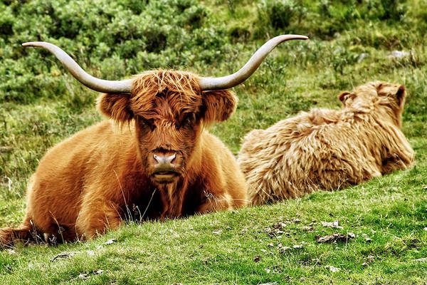 Highland Cows Art Print