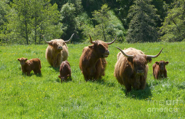 Photograph - Highland Cows And Calves by Phil Banks